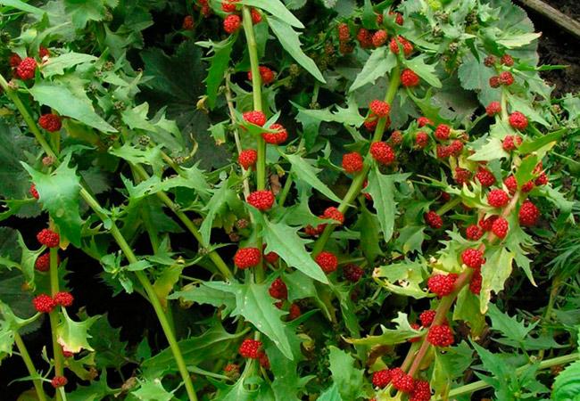 Как выращивать земляничный шпинат