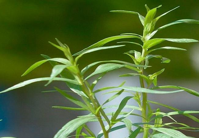 Эстрагон: выращивание в открытом грунте