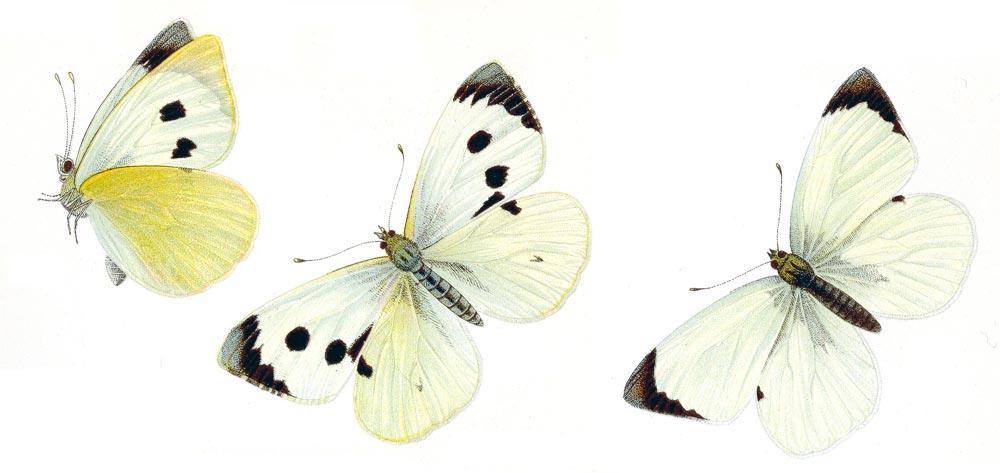 Капустная белянка – Pieris Brassicae