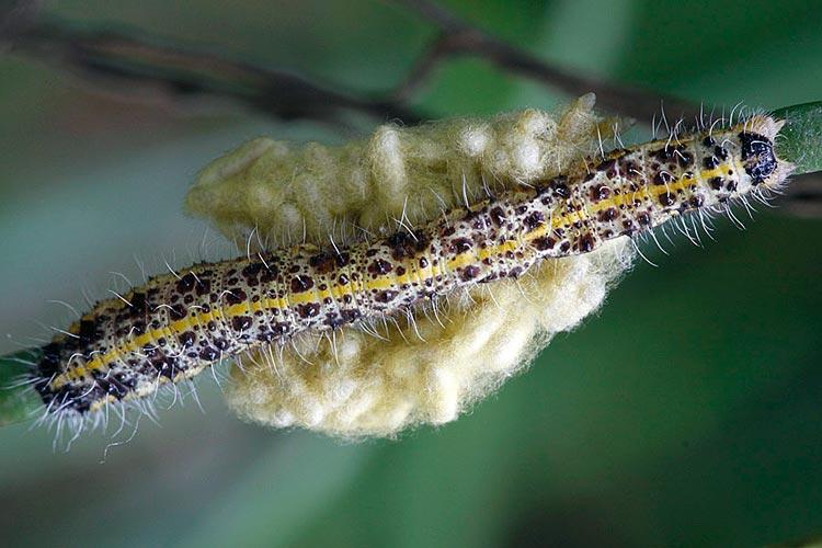 Личинка капустной белянки – Pieris Brassicae