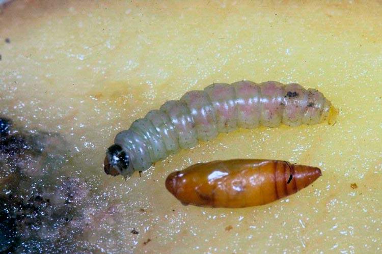 Гусеница и кукулка картофельной моли
