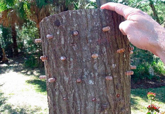 Выращивание грибюов в отверстиях бревен