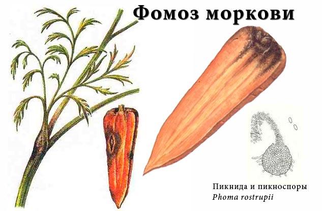 Фомоз моркови