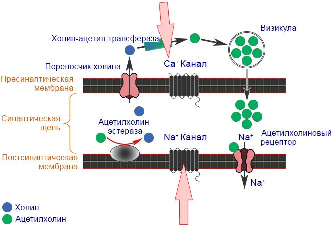 Механизм действия пиретроидов