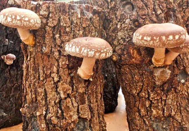 Выращивание грибов шиитаке дома на даче