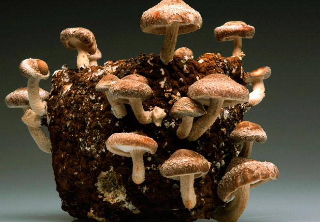 Технология выращивания грибов шиитаке