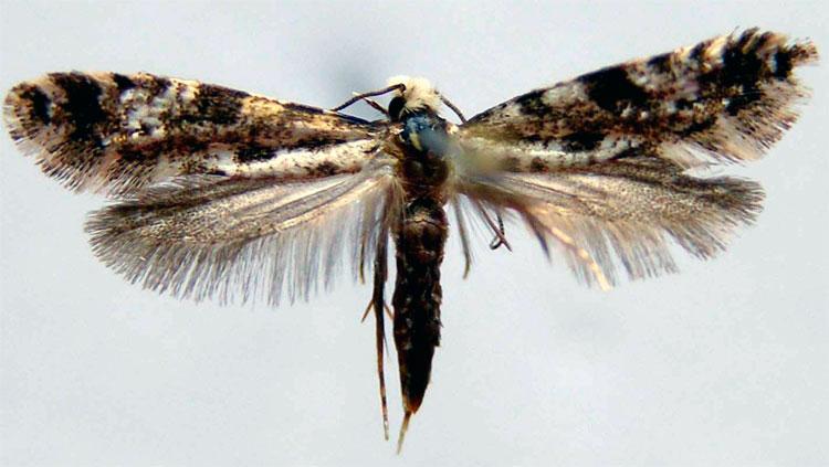 Амбарная моль - Nemapogon granellus L.
