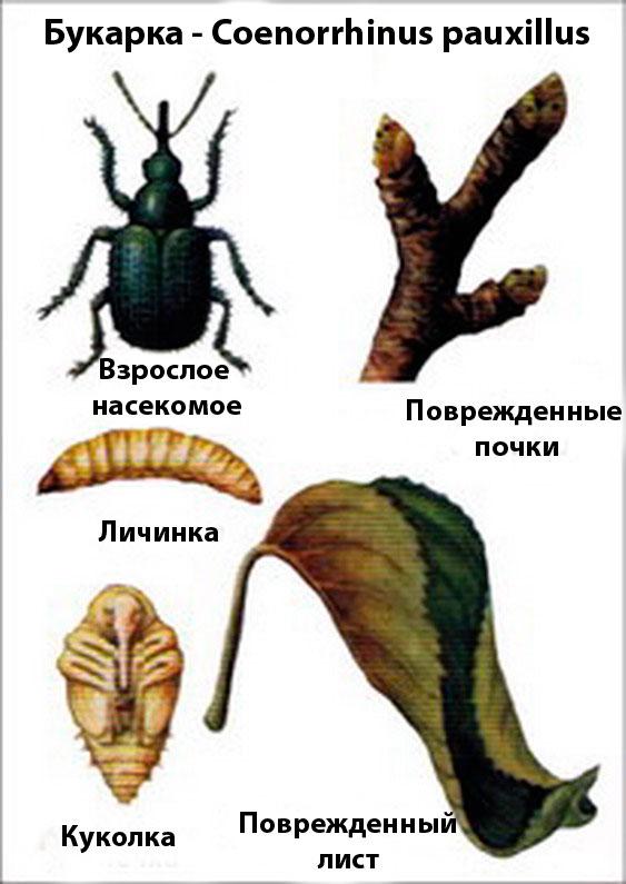 Букарка – Coenorrhinus pauxillus