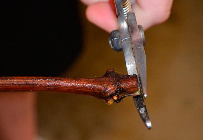 Инструменты для нарезки черенков винограда