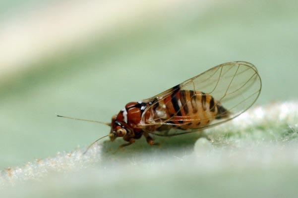 Грушевая медяница или грушевая листоблошка