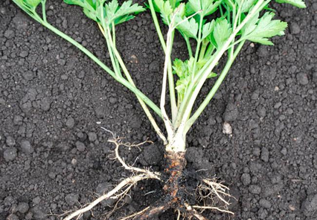 Сорта корневой петрушки для посева под зиму