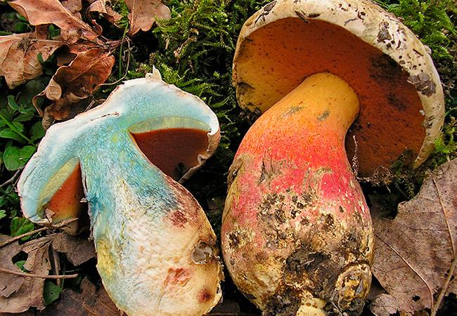 Ложный белый гриб: фото двойников