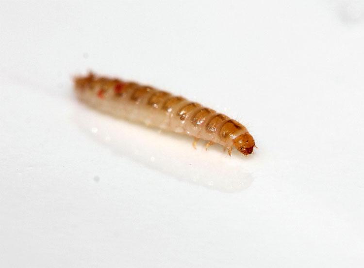 Малинный жук (личинка) - Byturus tomentosus