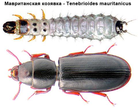 Мавританская козявка - Tenebrioides mauritanicus
