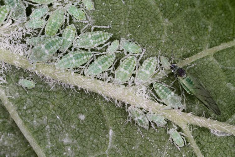 Тля сливовая опыленная - Hyalopterus pruni