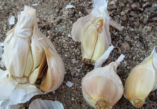 Правила посадки озимого чеснока осенью