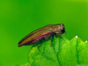 Смородинная узкотелая златка - Agrilus ribesii