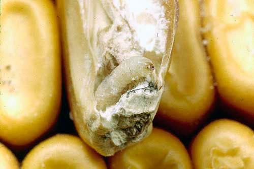 Зерновая моль - Sitotroga cerealella