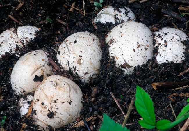 Веселка обыкновенная: стадия яйца