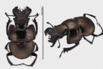 Жук-кравчик - Lethrus apterus