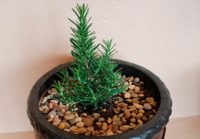 выращивание розмарина в домашних условиях на подоконнике