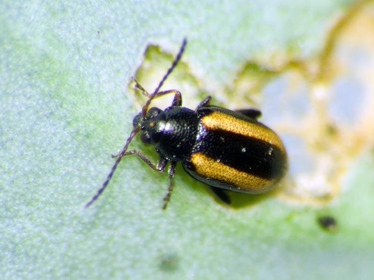 Блошка волнистая - Phyllotreta undulata