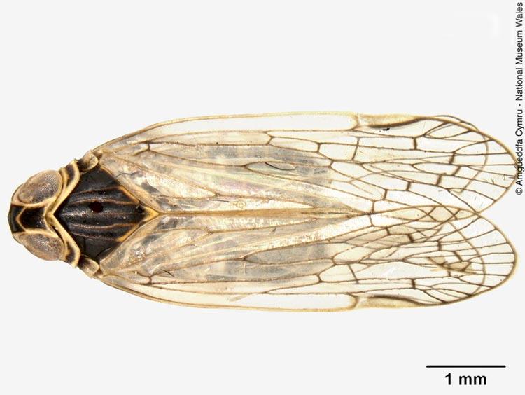 Корневая цикадка - Pentastiridius leporinus