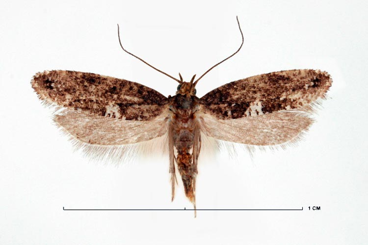 Луковая моль - Acrolepiopsis assectella