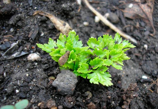 Подзимний посев листовой петрушки