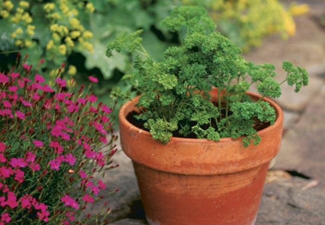 Петрушка листовая: выращивание в открытом грунте