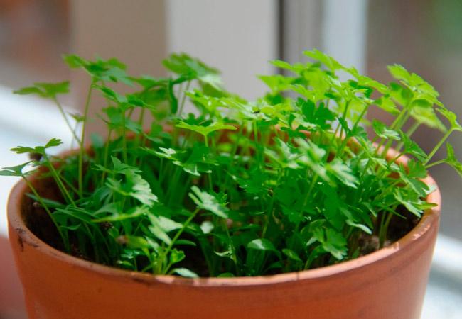 Петрушка листовая: выращивание на подоконнике
