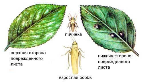 Поврежденный лист розанной цикадкой – Edwardsiana rosae