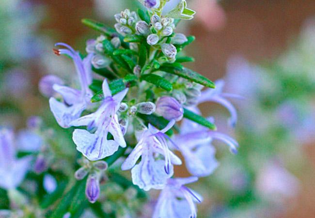 Розмарин распростертый: фото цветков