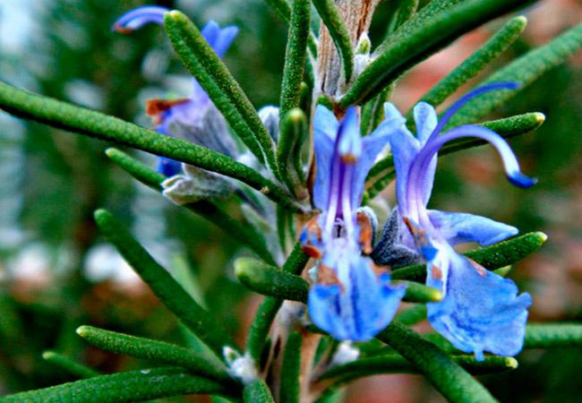 Фото цветков розмарина