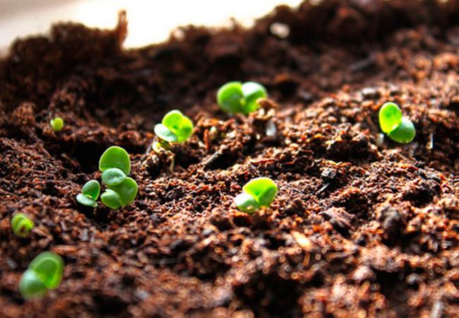 Базилик: выращивание и уход в открытом грунте