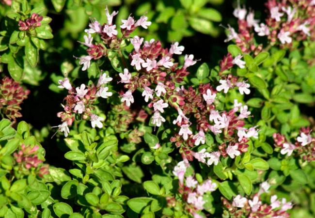 Майоран многолетний цветочный