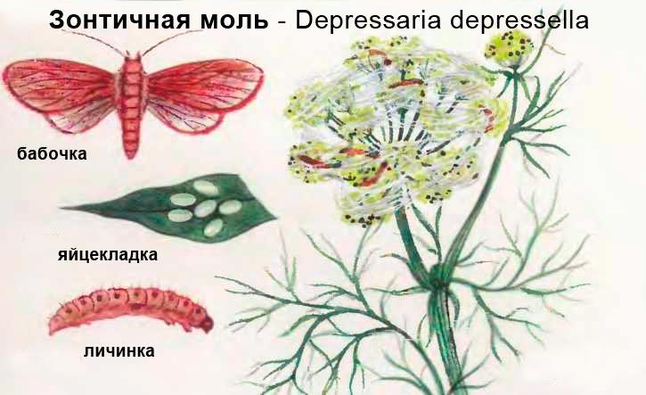 Зонтичная моль - Depressaria depressella