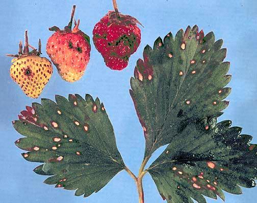 Белая пятнистость (рамуляриоз) земляники – Ramularia tulasnei