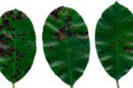 Буроватость листьев груши – Entomosporium maculatum