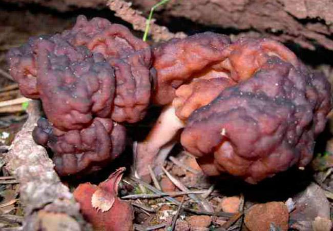 Строчок обыкновенный - Gyromitra esculenta: фото гриба