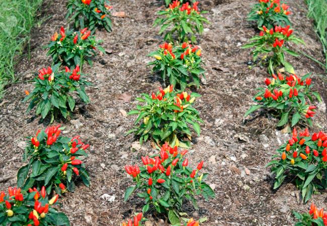 Высаживание перцев чили в открытый грунт