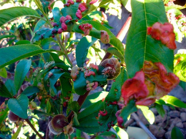 Курчавость листьев персика – Taphrina (Exoascus) deformans