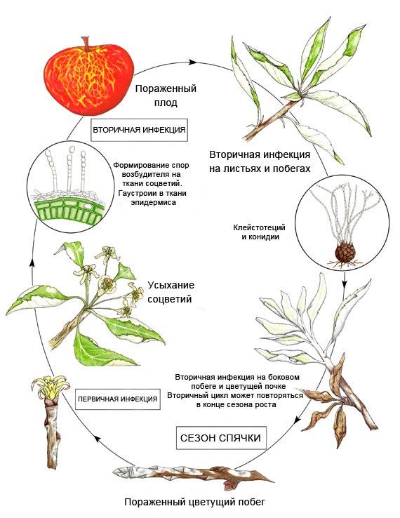 Цикл развития мучнистой росы на яблоне – Podosphaera leucotricha