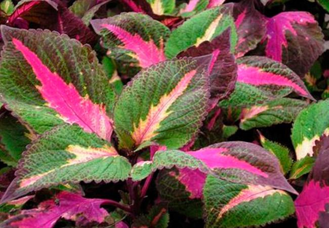 Перилла: описание растения
