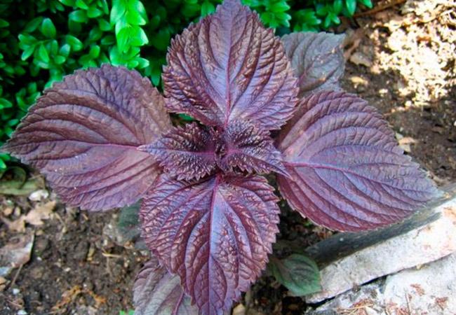 Растение перилла: виды и сорта