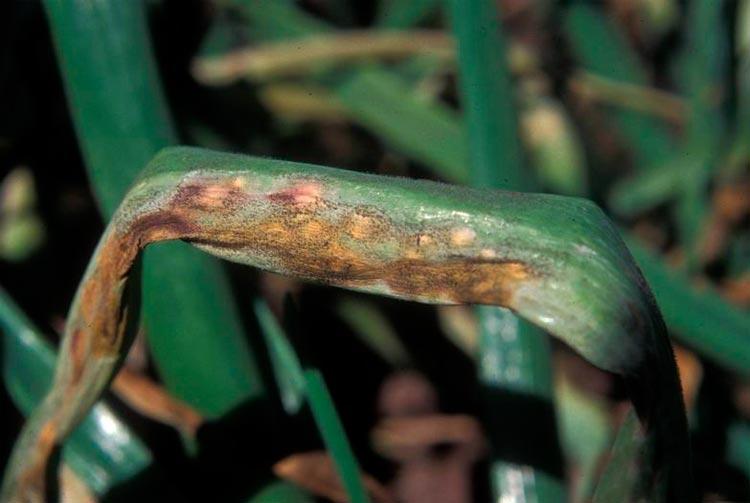 Пероноспороз или ложная мучнистая роса лука – Peronospora destructor