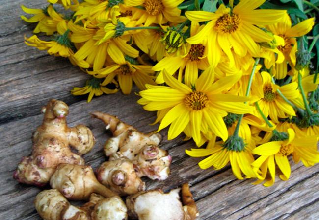 Цветки топинамбура: полезные свойства