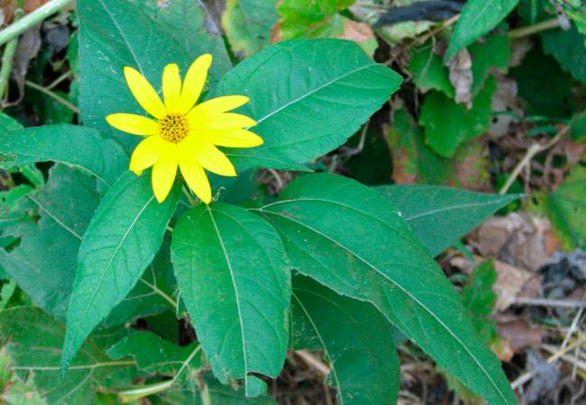 Полезные свойства листьев и стеблей земляной груши