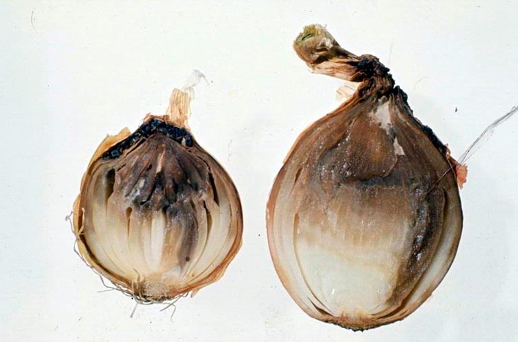 Шейковая гниль лука – Botrytis Allii