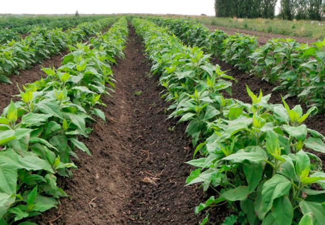 Топинамбур выращивание и уход в домашних условиях